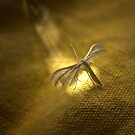 White Plume Moth by Nigel Bangert