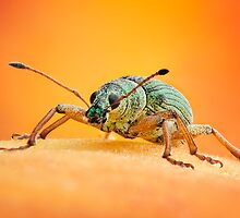 Green Immigrant Leaf Weevil on Peach by Dan Dexter