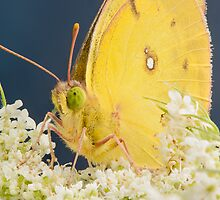 Yellow Sulfur Butterfly on Queen's Lace by Dan Dexter