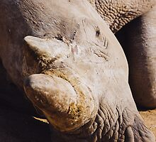 Sleeping Rhino Portrait by Patrycja Polechonska