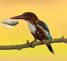 White-throated kingfisher with a fish in its beak by PhotoStock-Isra
