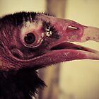Turkey Vulture by David Orr