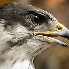 Zulu the African Augur Buzzard by David Orr