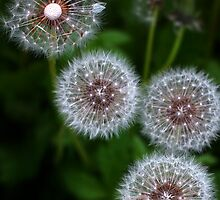Dandelion clocks by Martyn Franklin