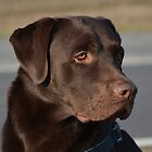 Labrador Lorenzo by fuxart