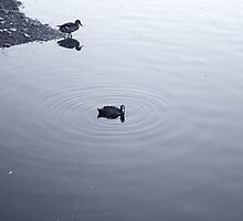 Duck and coot by martinbenito
