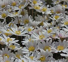 Daisies, daisies and more daisies. by Terese Raedts