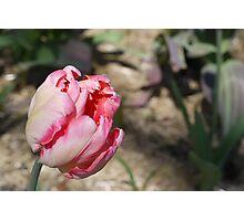Parrot Tulip at Brooklyn Botanical Garden Photographic Print