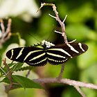 zebra butterfly by KSKphotography