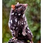Quoll In Rain by Yanni