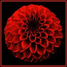 Red Dahlia by Yampimon