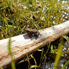 Baby Toad by the pond 2 by Barberelli