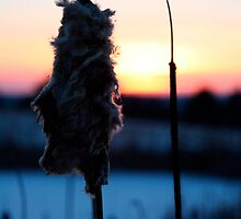 Cattail Winter Sunset by WestbrookArts