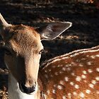 The Doe by patjila
