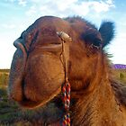 Camel at Ayers Rock, Uluru, Australia by SaraHardman