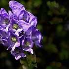 Monkshood by cclaude