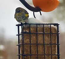 Townsend Warbler by Cee Neuner