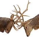 Elk Fight by Jim Cumming