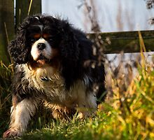 Cavalier King Charles Spaniel out walking by Violaman