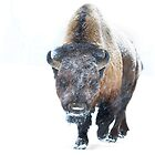 Buffalo by Jim Cumming