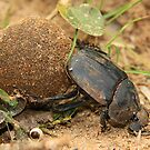Dung Beetle by Jennifer Sumpton