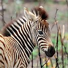 NEW TO THE WORLD - BABY ZEBRA -  BURCHELL'S ZEBRA – Equus burchelli – Bontkwagga by Magaret Meintjes