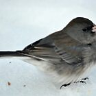 Winter Snow Bird 2 by michaelasamples