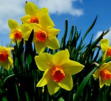 Daffodils, Dunfermline Abbey by scotsann