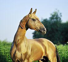 Akhal-teke stallion Tyllagush by artur-baboev