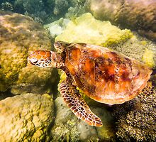 Australian Tropical Reef Turtle 2   (Snorkeling) by GiulioCatena