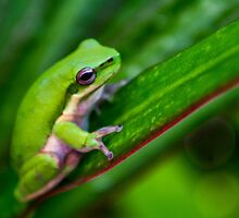 Australian Tropical Frog 3 by GiulioCatena