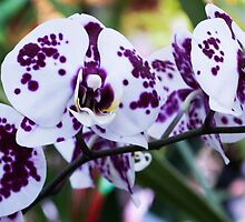 Tropical Orchid 8 by GiulioCatena