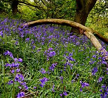 Bluebell Woods by English Landscape Prints