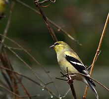 Goldfinch  in Winter by Janice Carter