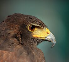 harris hawk by sean-gibson