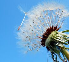 DANDELION PUFF BALL (7) by Sandra  Aguirre