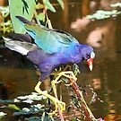 Purple Gallinule by jozi1