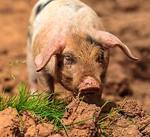 Cute Piglet by Dave  Knowles