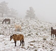 Rocky Mountain Horses Snow and Fog by Bo Insogna