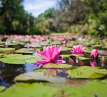 Nymphaea by jamjarphotos