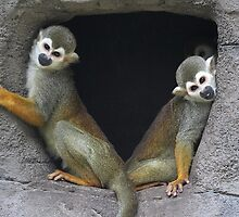 Squirrel Monkeys by Carol Bailey White