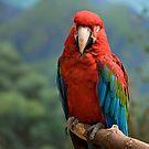 Mountain Parrot by Adam Bykowski