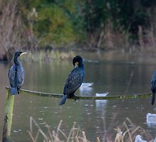 3 wise cormorants by Chris Martin