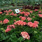 Salmon Pink Geraniums at the Garden Centre.  by Billlee