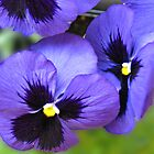 Floral Conpiracy - Purple Pansies Vignette by BlueMoonRose