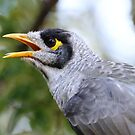 Noisy Miner by dilouise