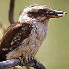 Kookaburra Feeding  by D-GaP