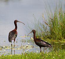 Elusive Ibis by byronbackyard