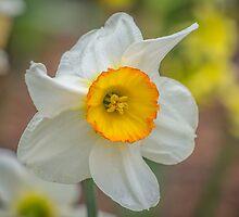 My Daffodil by Leon Herbert