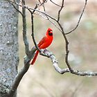 Red Cardinal  by Vonnie Murfin